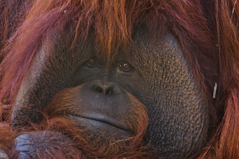 Orangutan Bored To Tears