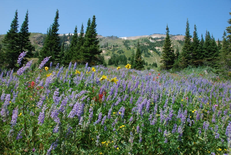 Heart Lake Wildflowers