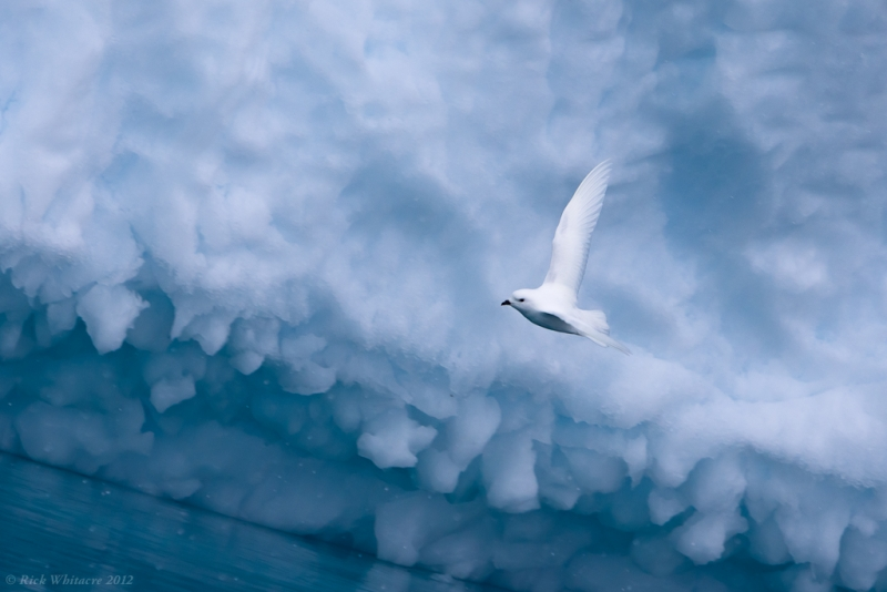 Snow Petrel And Iceberg