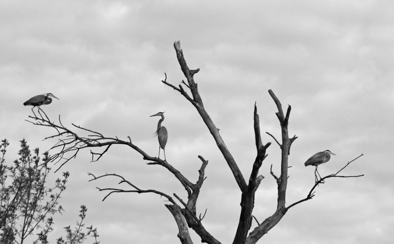 The Heron Tree