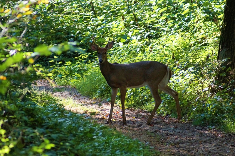 Buck On The Path