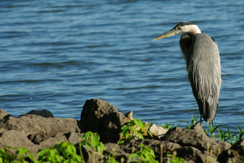 Heron On The Rocky Shore