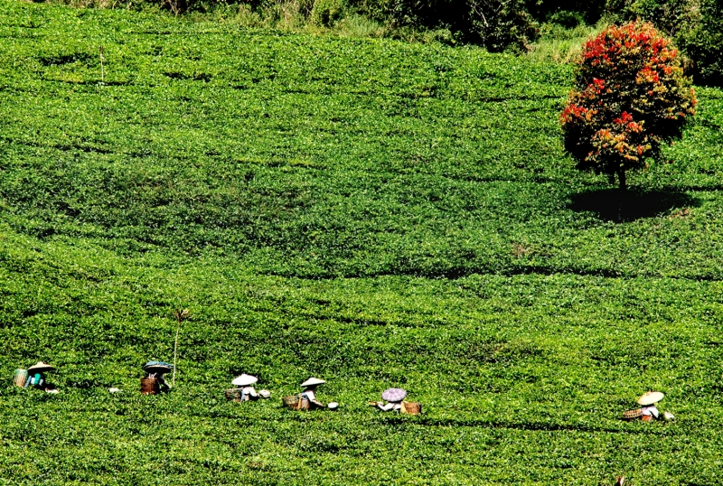 Farmer In Tea Farm