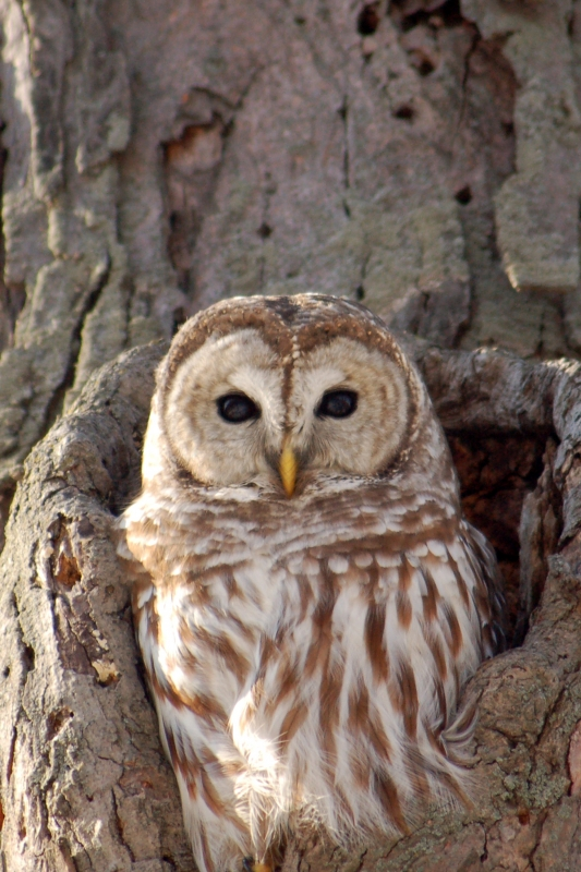Barred Owl In Tree