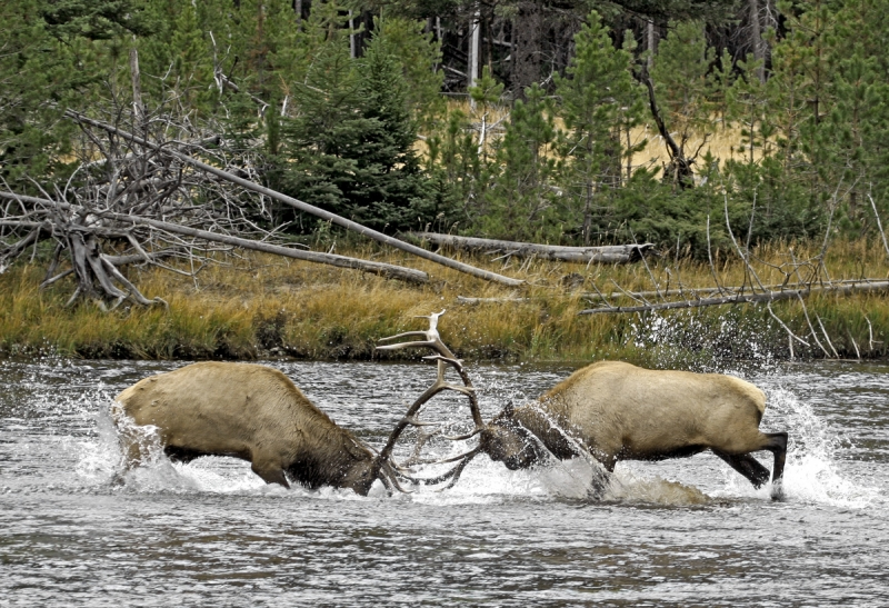 Battle Of The Bulls In The Madison River