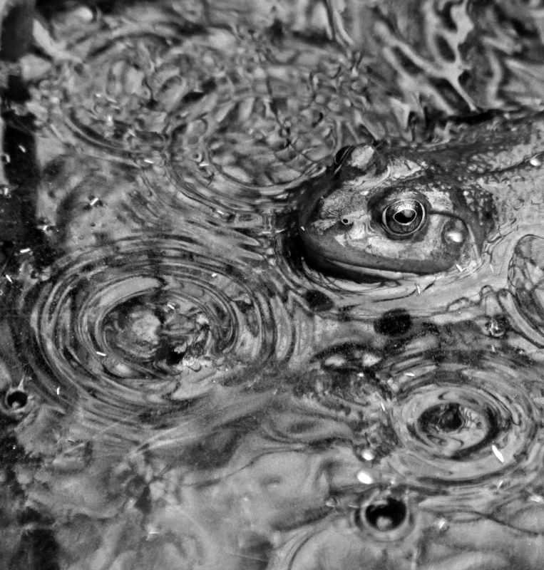 Frog In Raindrops