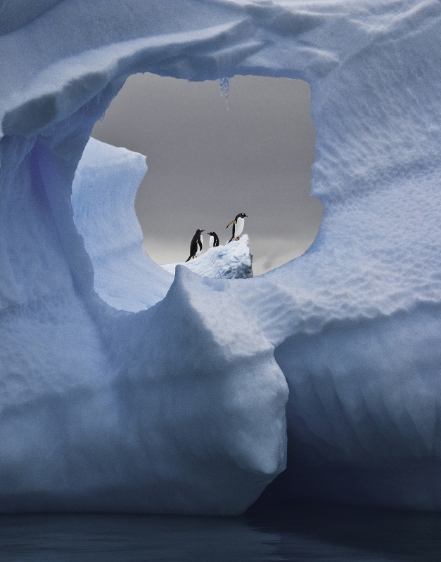 Gentoo Penguins Resting And Playing On Antarctic Iceberg