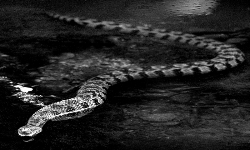 Water Moccasin In Waiting