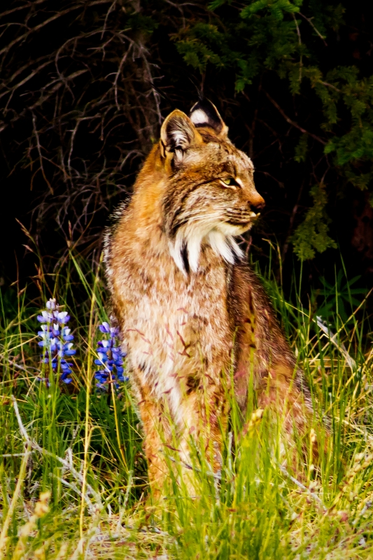 Lynx And Lupine