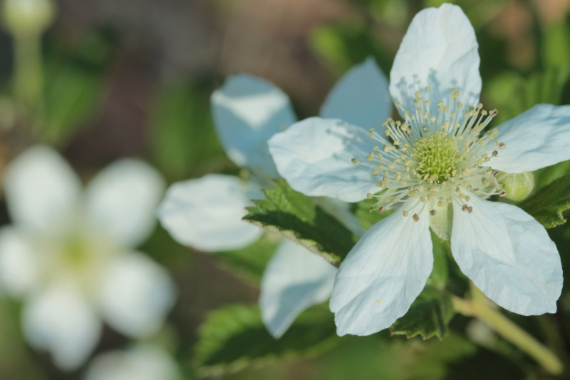 Wild Blackberry Blossoms
