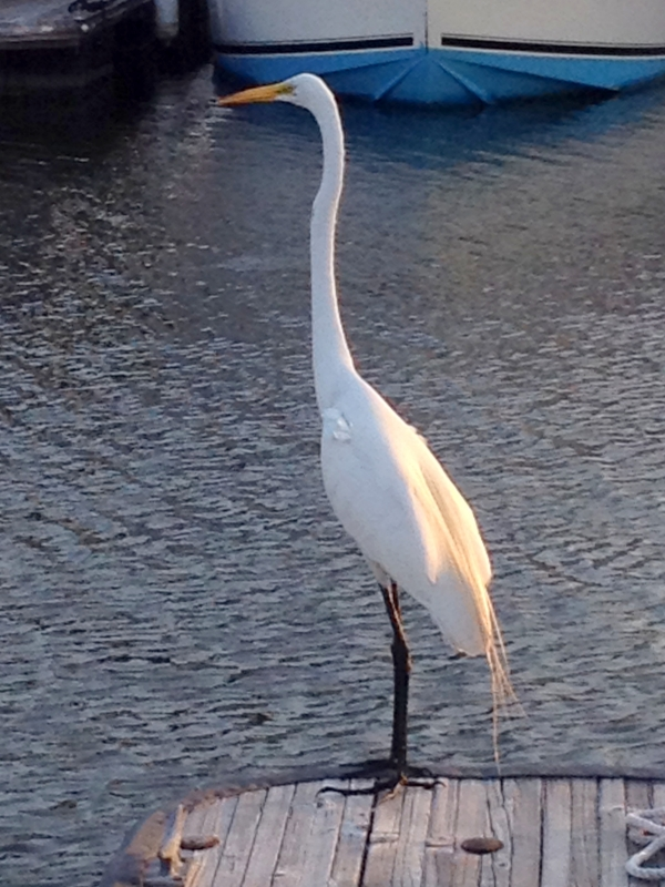 Egret Fishing From Docks