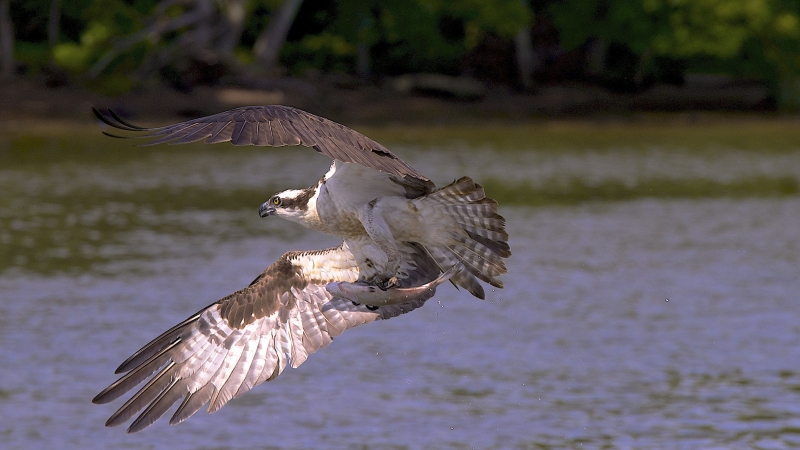 Osprey With A Prey