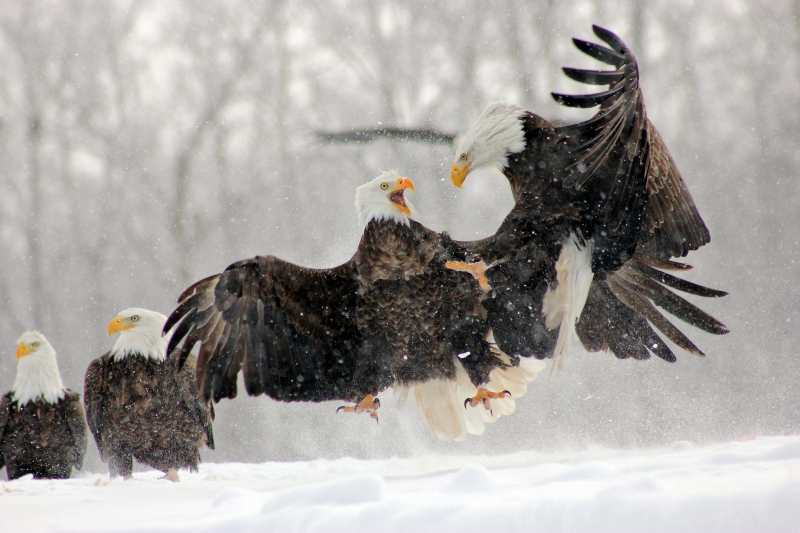 Dance Of The Eagles