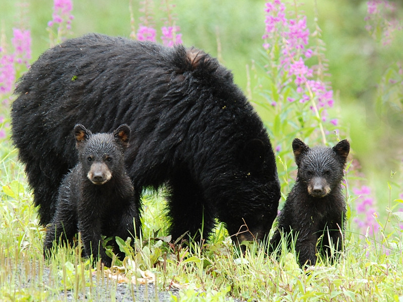 Baby Black Bears And Mom