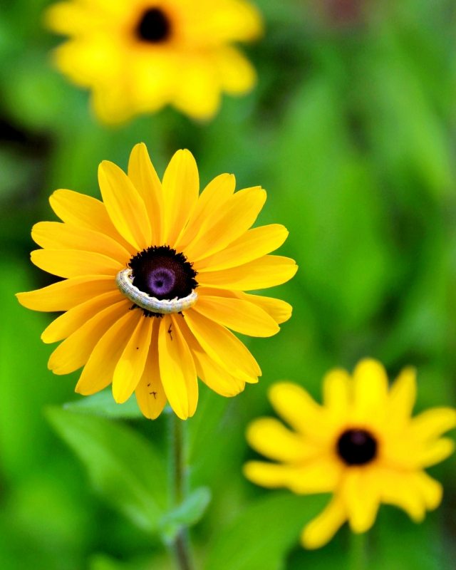 Blackeyed Susan With A Smile