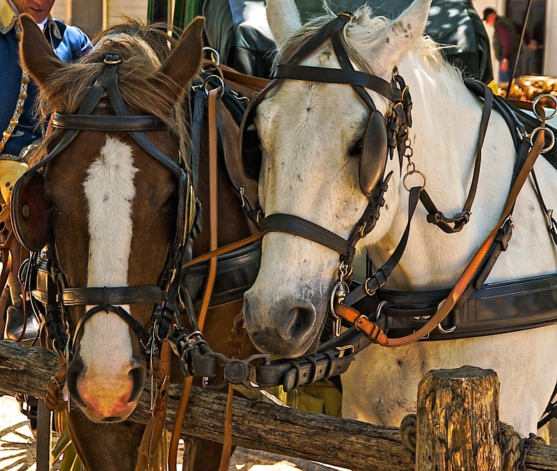 Carriage Horses On Colonial Williamsburg's Duke Of Gloucester St
