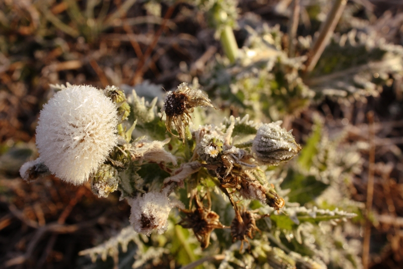 Frost Covered Dandelion