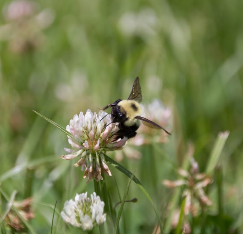 Bee Having Lunch On A Clover Flower