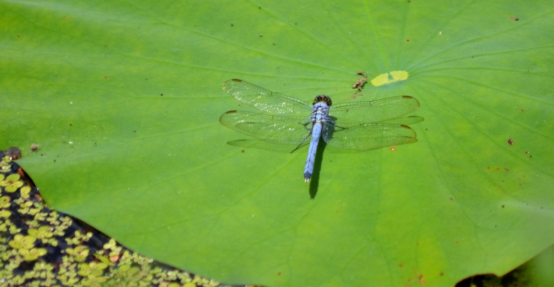 Dragonfly On Lotus Pad