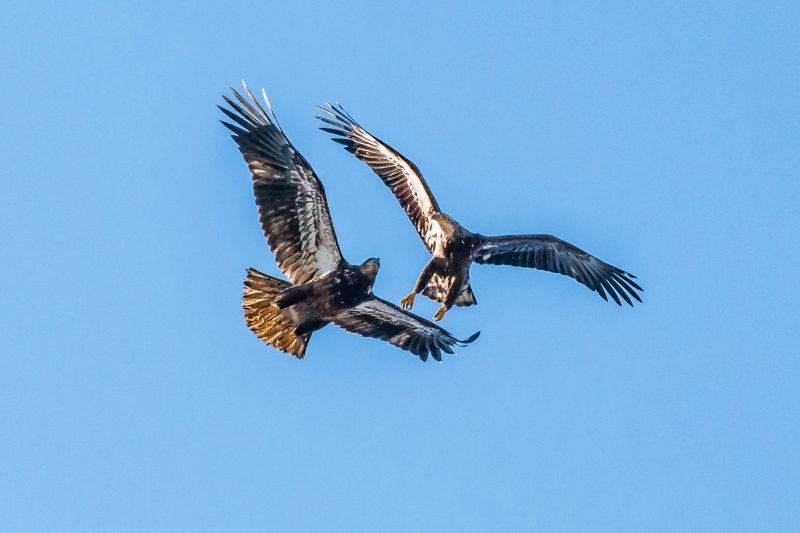 Juvenile Bald Eagles Playing
