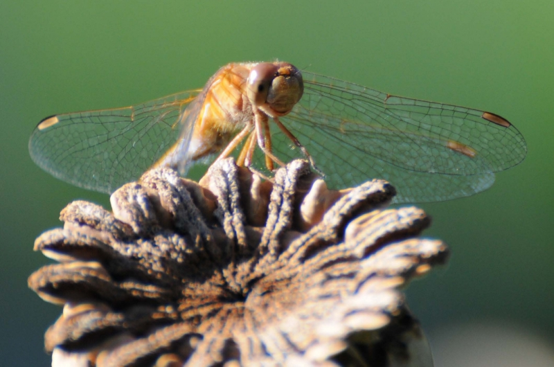Dragonfly On Poppy