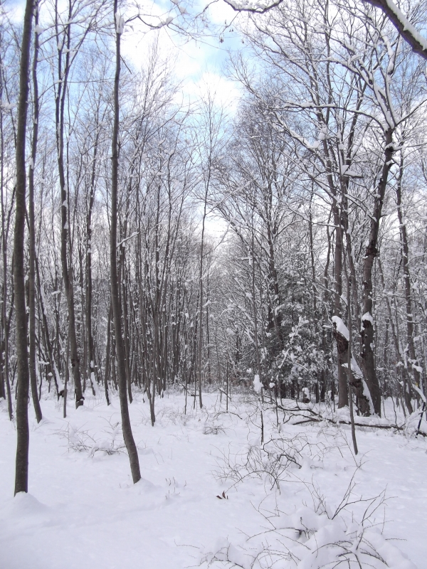 Snowcoverd Forest