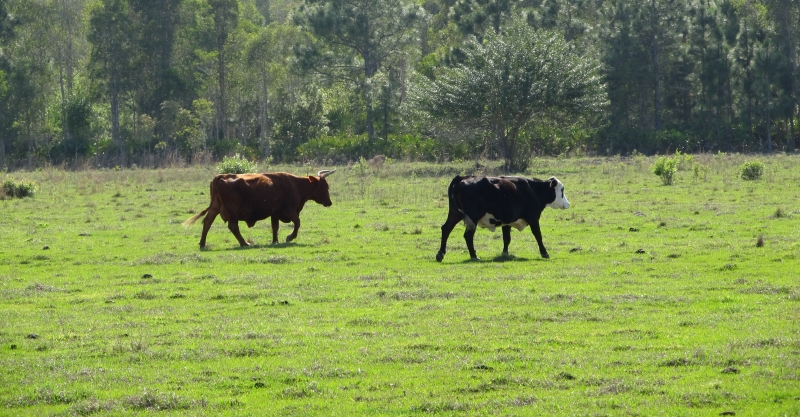 Two Different Cows Walking Together In A Field