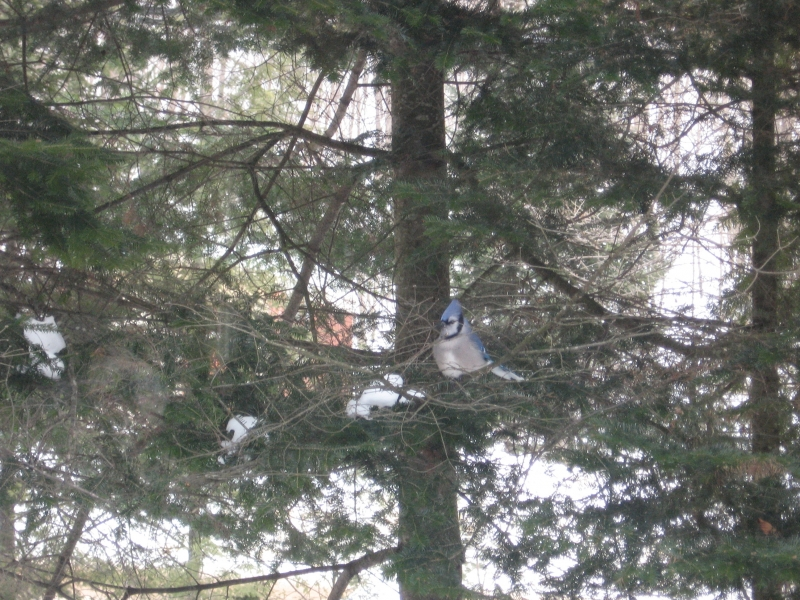 Blue Jay In The Tree