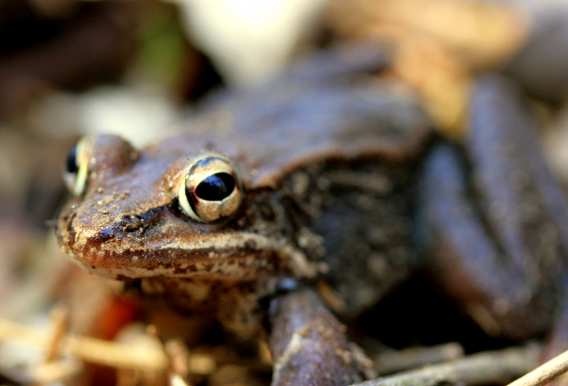 Pennsylvania Wood Frog