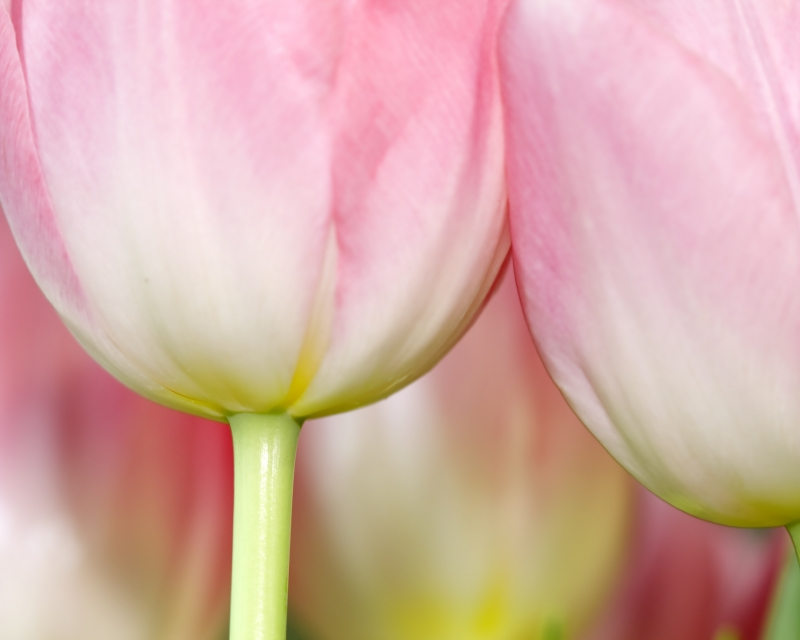 Tulips Up Close