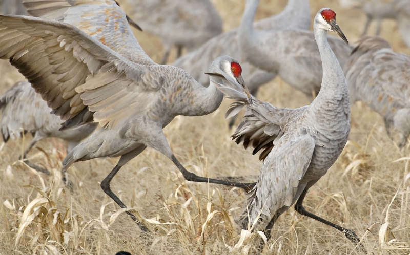 Sandhill Crane Gets A Mouthful Of Feathers