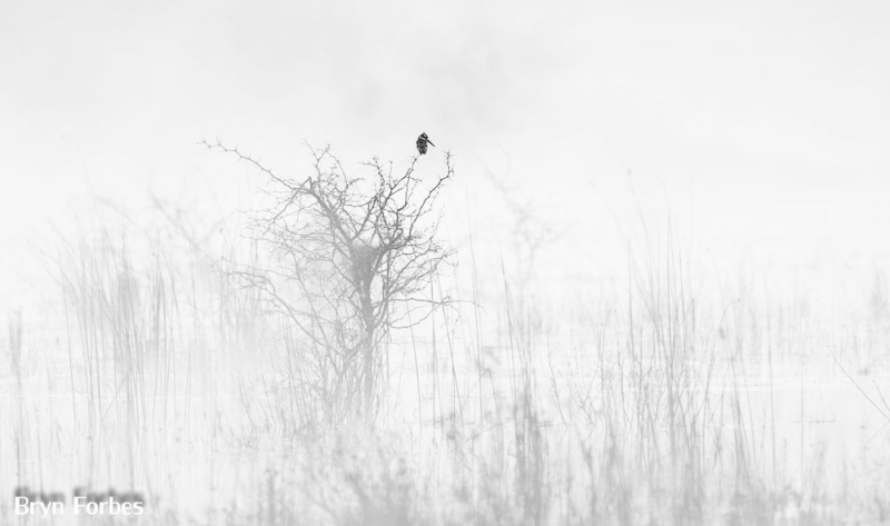 Kingfisher In The Mist