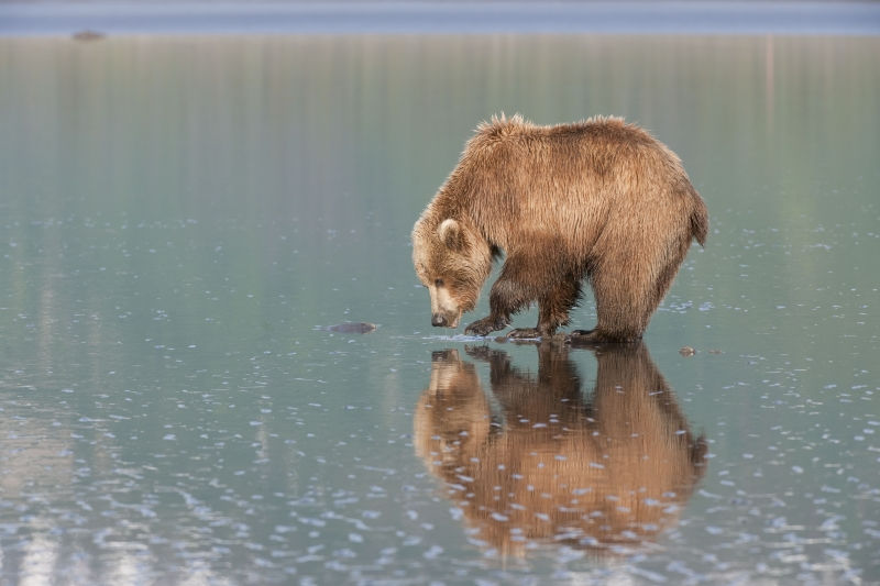 Reflecting Brown Bear