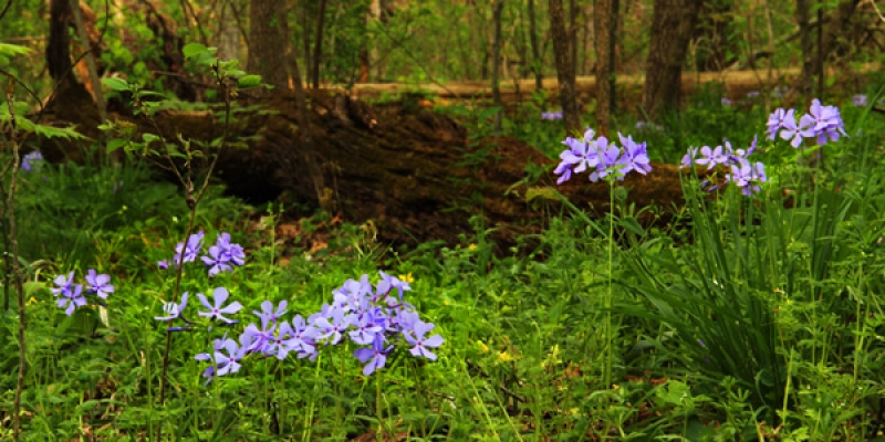 Wild Phlox In The Forest