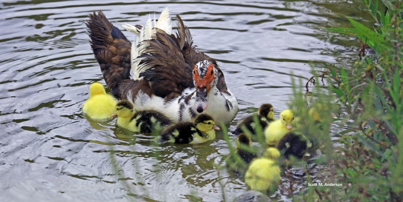 Mother Trying To Keep Her Baby Ducks In A Row