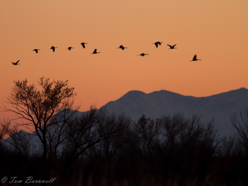 Sandhiil Cranes Head To The Roost At Dust