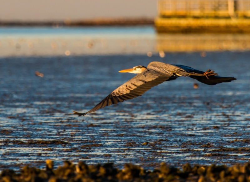 Great Blue Heron On The Move