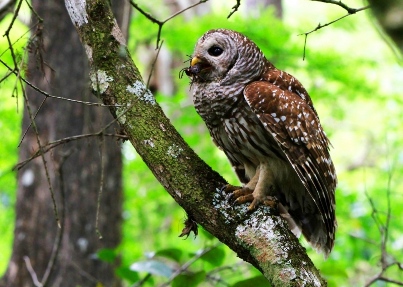 Adult Barred Owl Takes Crayfish To It's Nearby Chick.