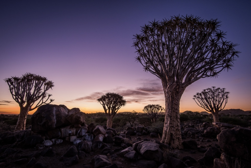 The Quivertree Forest At Dusk