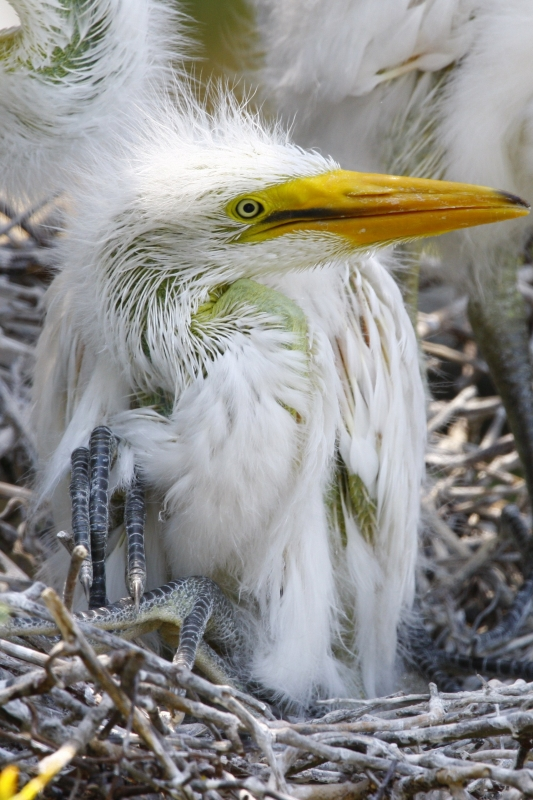 Baby Egret In Nest