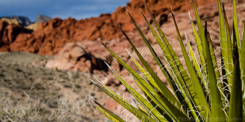 Mojave Yucca Against Red Rocks