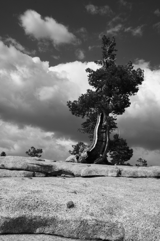 Weathered Tree, Olmsted Point, Yosemite National Park