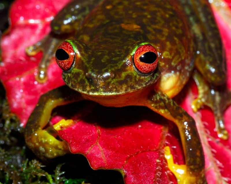 Honduran Red-Eye River Frog
