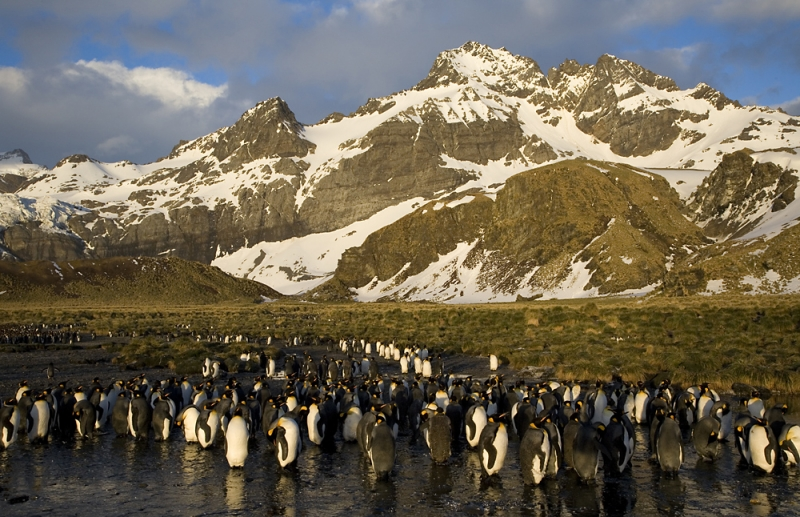 King Penguins, Gold Harbor, South Georgia Island, Antarctica
