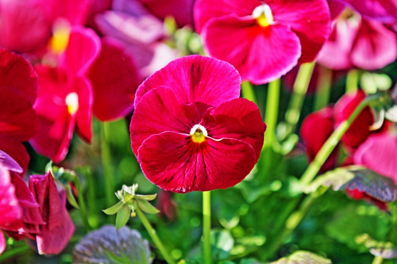 Red Pansy Flower