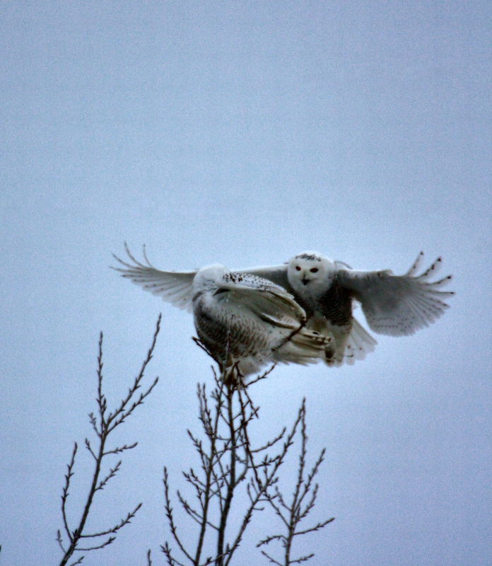 Snow Owls Return