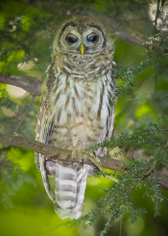 Blue Eyed Juvenile Barred Owl