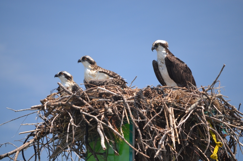 Osprey Family In Nest