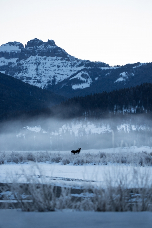 Moose Under Fog Blanket