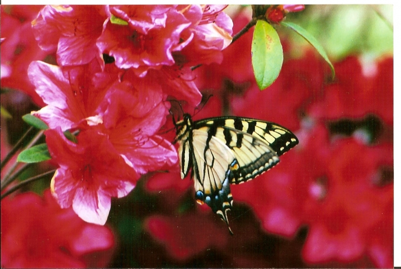 Monarch Butterfly On Red Azealas